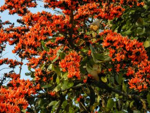 for showing palash flowers