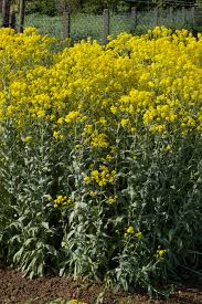 for showing woad plant